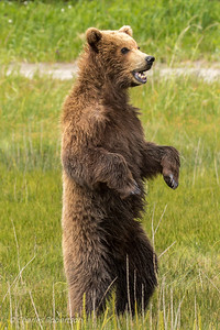 One of the bear cubs standing up to look at an approaching male grizzly bear.
