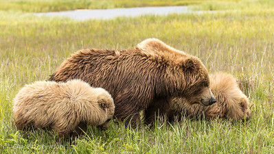 The sow grizzly feeding with both her cubs.