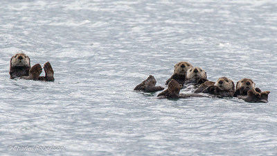 A raft of five sea otters. A rare treat to see, and they  were very accomdating to all look toward the camera as I took their picture!