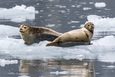 A pair of harbor seals on the ice with a nice reflection.