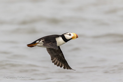 A Horned Puffin in Flight.