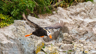 A Tufted Puffin takes off from rocks near the Stellar Sea Lions. We didn't see many of these Puffins. The Horned Puffins were more common.