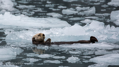 A sea otter relaxing in the middle of floating ice. Unlike other marine mammals, the sea otter does not have a layer of blubber to stay warm, but relies on extremely dense fur to keep the cold water away from its skin.