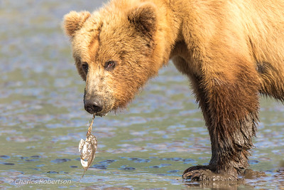 The bear is sucking in the clam which is almost free of the shell.