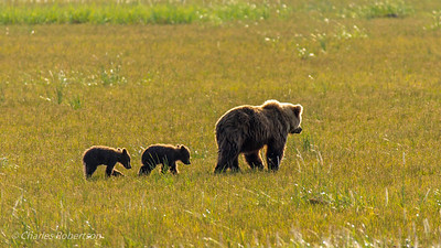 How fitting on our last morning that a sow grizzly would walk across the meadow in front of our lodge with her two new cubs (born this spring) following closely!  I made this shot from our cabin.