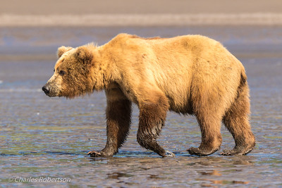 The bear is searching for clams at low tide. Most of the clams appeared to be under about a foot of mud.