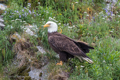 Bald Eagle sitting on rocky ledge amid wildflowers.