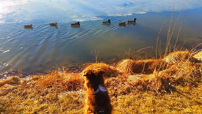 Bear nicely watching ducks swim by!