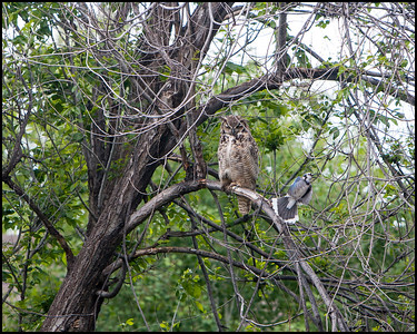 Great Horned Owl and his friend a Blue Jay!