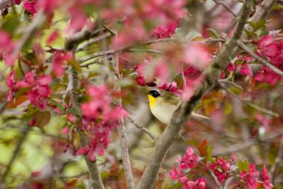 Immature Magnolia Warbler
