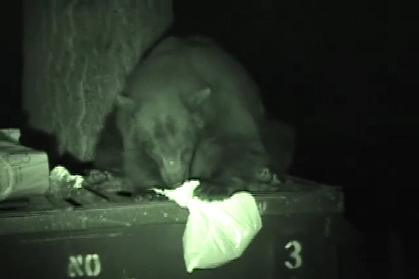 This is a California black bear. We were camping with a few of our friends in the Sierras. We saw this bear and couldn't resist to get within 20 feet it to film the trash devouring bear. We used a million candle power light to illuminate the beast.