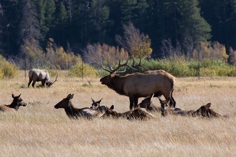 Large Buck with large harem