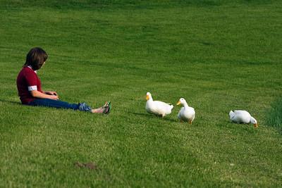Ducks in the Backyard