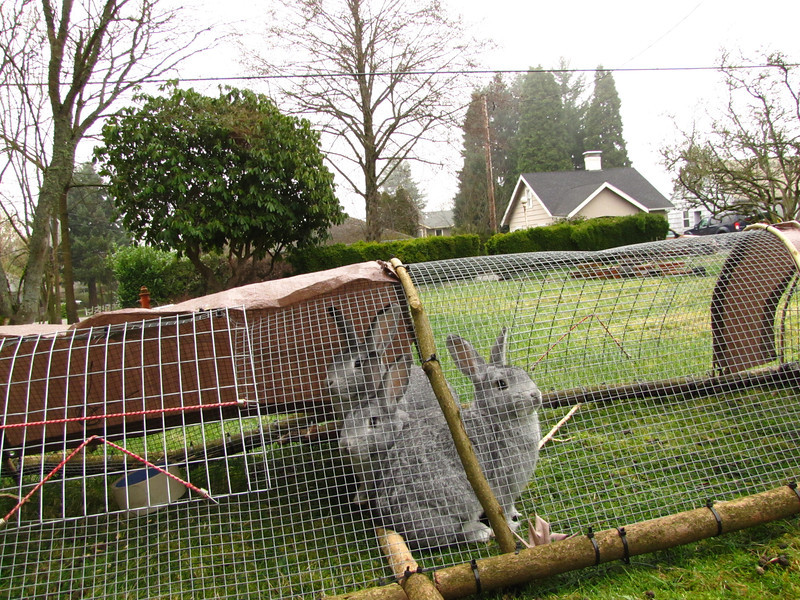 Moveable cage allows the bunnies to graze the lawn.