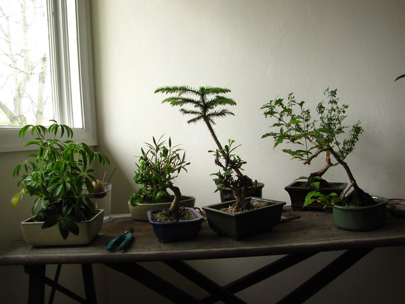 Brother Nathan's bonsai - years in the making.