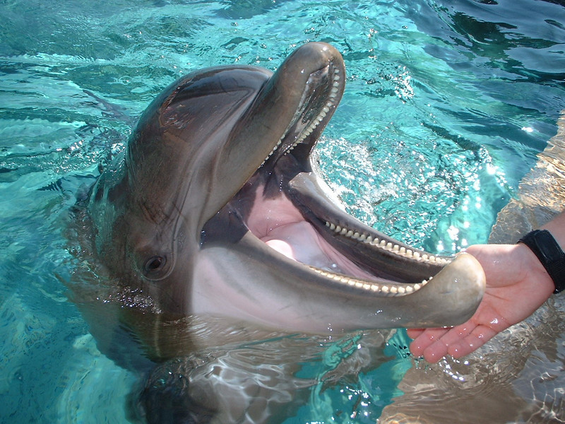 Dolphin close open mouth