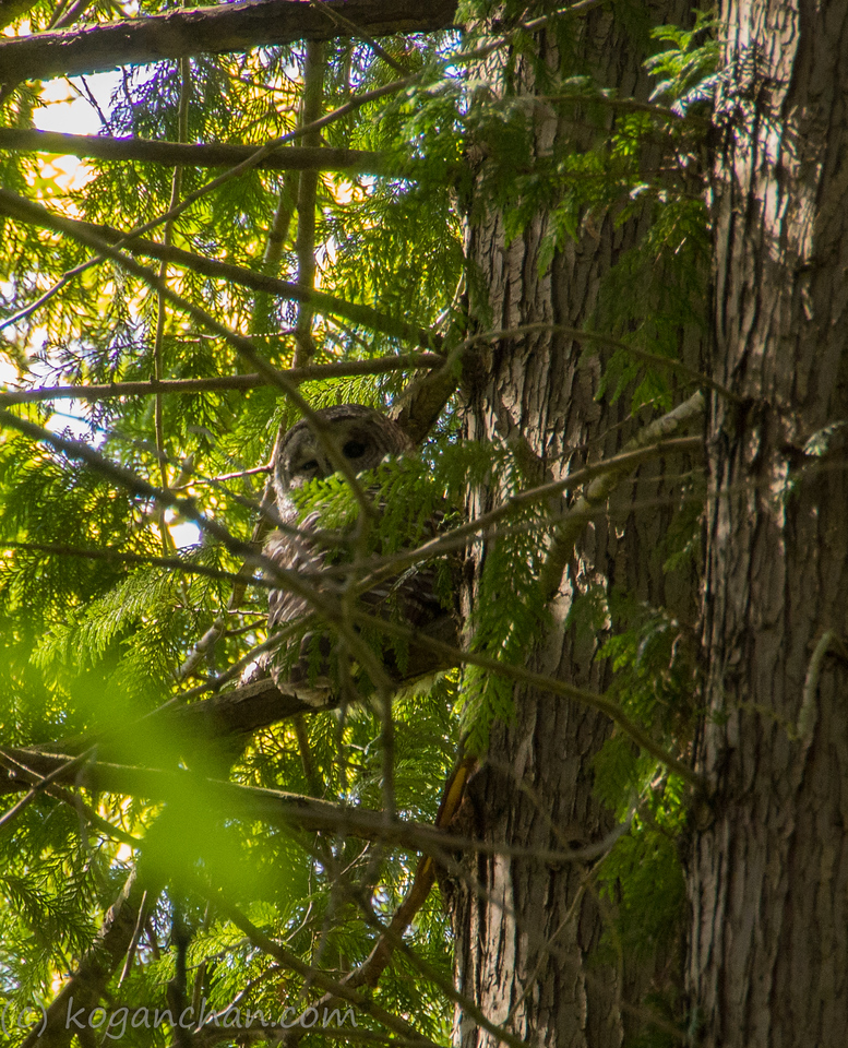 A birdwatcher saw the owl chilling in the tree and pointed it out to us.