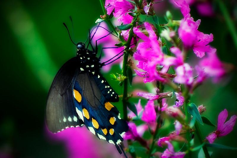 Mountain Air butterflies<br /> July 21,  2010