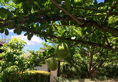 Watermelons growing on trees?