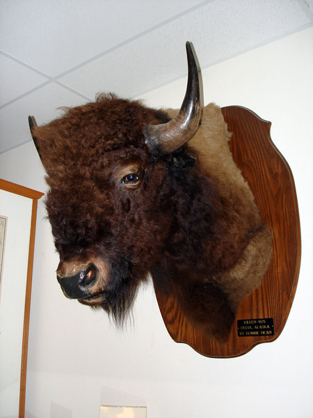 BUFFALO HEAD<br /> Funny, but even though buffalo used to roam freely in this area, this local guy had to go to Alaska to bag this one.
