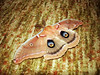 "POLYPHEMUS MOTH - FULL WING DETAIL<br /> As the moth fluttered about the living room, it finally came to rest on the carpet with its wings fully extended, offering up its ""eyes"" for examination. The large false eyes are used as a target for birds that may try to eat it. If they bite at the ""head"" for an instant kill, all they get is a beak full of moth wings while the moth then flies on to safety (it hopes; that's the theory, anyway). This is a common occurrence in nature, especially in the insect world. The smaller eyes on the outer wings perform the same service when the moth's wings are retracted back."