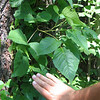 "Poison ivy ""as big as a man's hand"" - this is NOT kudzu!"
