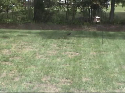 2002-09-09-Hawk-Backyard