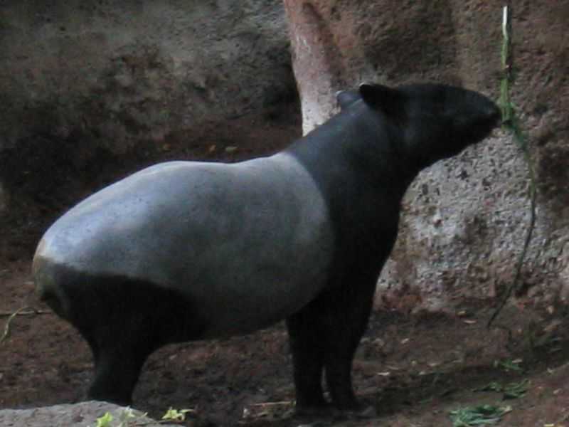Tapir, a half painted ungulate