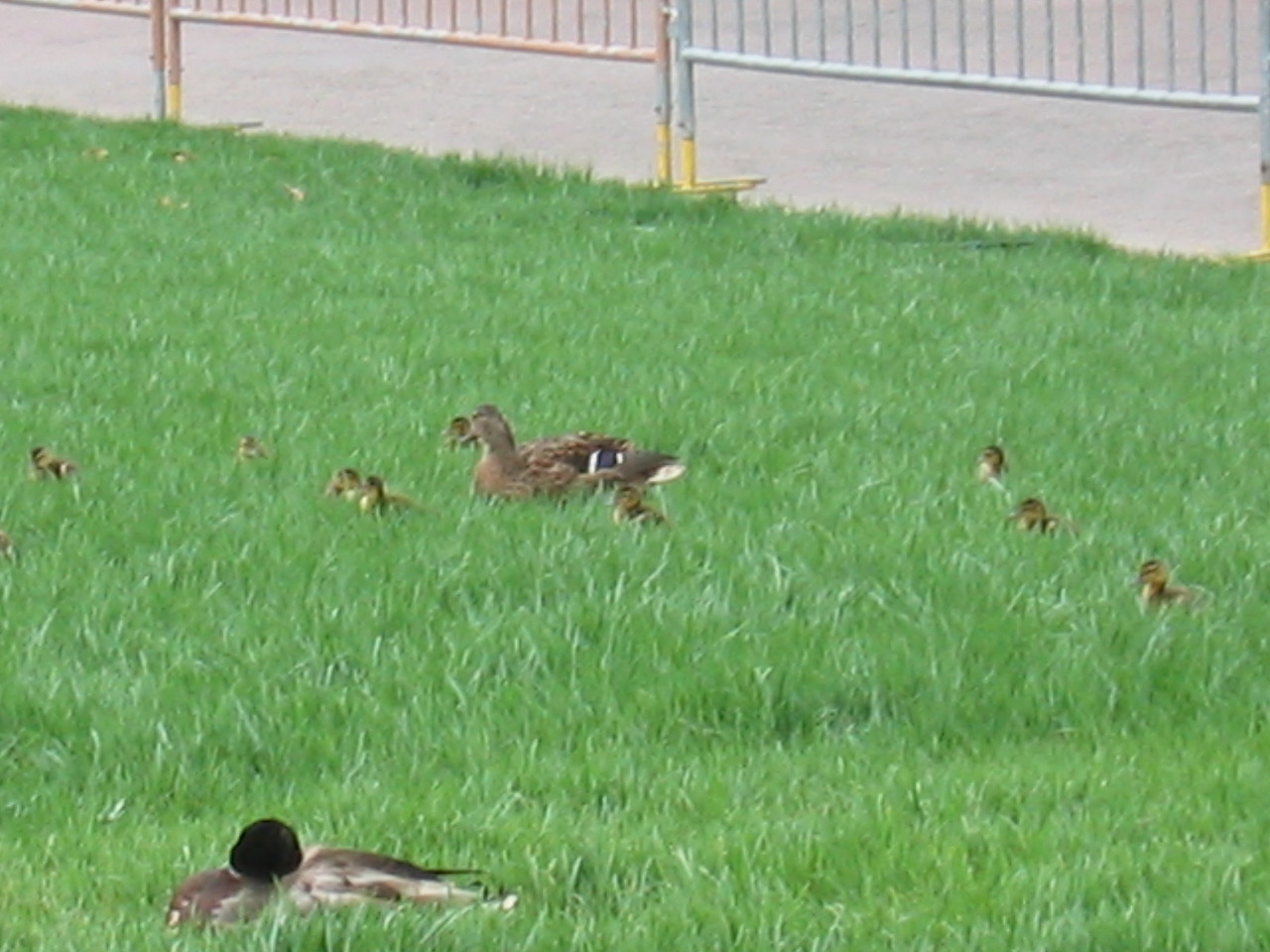 Deadbeat duck dad sleeps while mommy and kids wander