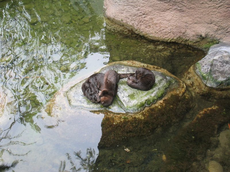 The Three Otters rumble