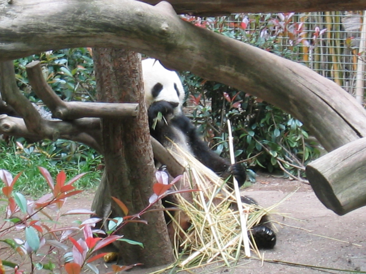 Bai Yun the female panda