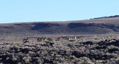 antelope at Hart Mountain