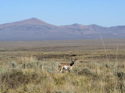 pronghorn up close at Hart Mountain