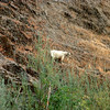 goats on the Rogue River