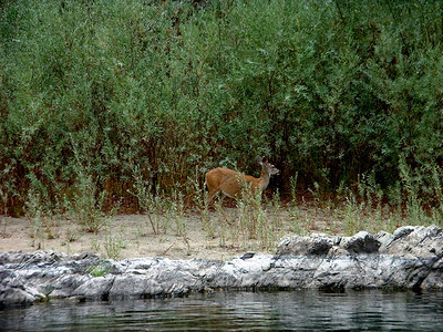 deer on the banks of the Rogue River