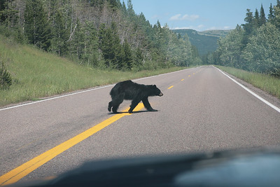 Glacier National Park - This bear just mosied right on out in front of us.  Didn't even have time to maneuver around him and try a shot out of a side window.