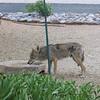 coyoteDrink4MA14685081-0006