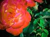 Duncan's Flowers -1