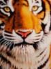 Dad's Tiger-1