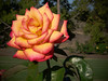 Dad's American Beauty Rose -1