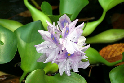 Our water hyacinth plant suddenly burst into bloom in early October!