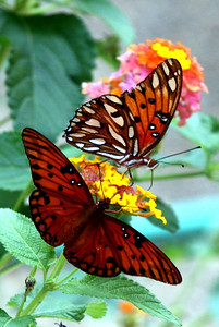We have three or four of these orange butterflies floating through the lantana garden almost every day.