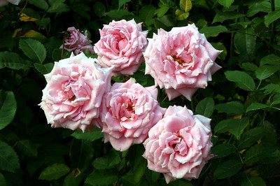 Pink roses blooming in profusion.  This image is our new website icon.