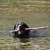 Dog Swimmer