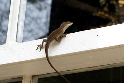 Gecko on the Window