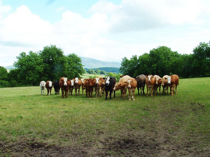 Menacing cows