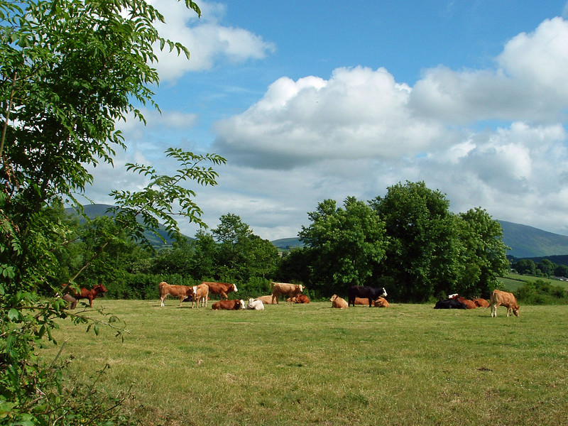 Jack's cows in field