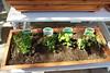 Gardening March 2009 - 9004
