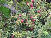 11  berries