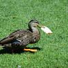 Very greedy duck